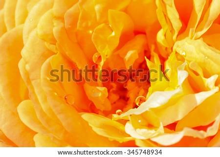 Closeup photo of drops of water on yellow rose petal - stock photo
