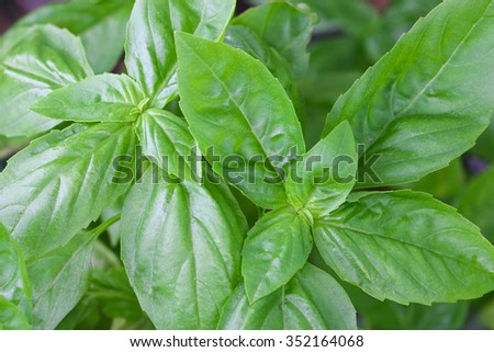 Closeup photo of home grown Italian Basil, known as Sweet Basil, in the garden - stock photo
