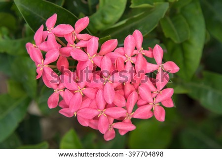 Closeup photo of Ixora flower, known as West Indian Jasmine, in Pink shade with blurred background in the garden. It is used in Hindu and Buddhist worship