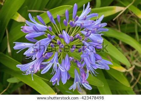 Closeup photo of Lily of the Nile, also called African lily flower, in purple blue shade (Agapanthus) in Australia - stock photo