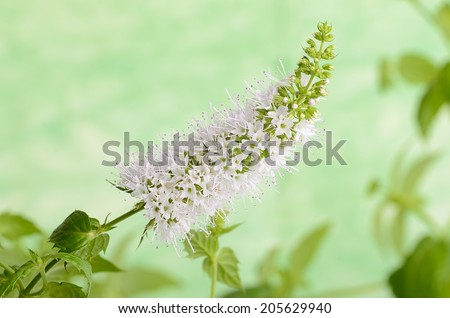 Closeup photo of mint flower on green background - stock photo