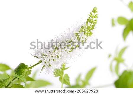 Closeup photo of mint flower on white background - stock photo