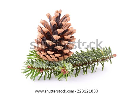 Closeup photo of pine cone and branch isolated on white - stock photo
