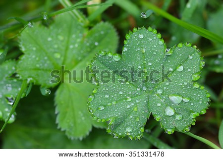 Closeup photo of water beads, drops of rain water on dwarf Lady's mantles leaves (Alchemilla erythropoda) - stock photo