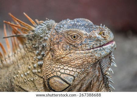 Closeup photograph of a green iguana taken in Costa Rica. - stock photo