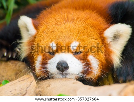 Closeup picture of a cute red panda with a funny sleepy face