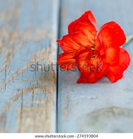 closeup picture of a Dianthus on turquoise vintage wooden background with copy-space - stock photo