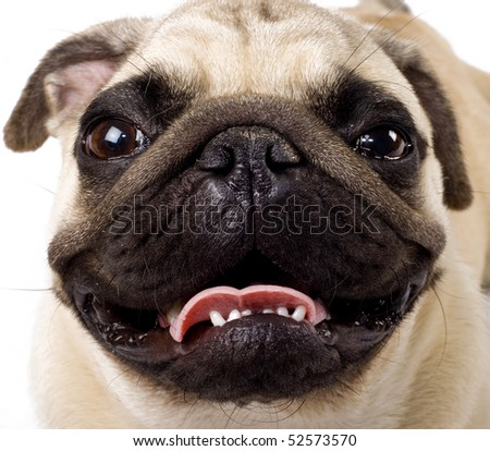 closeup picture of a pug's face looking at the camera - stock photo