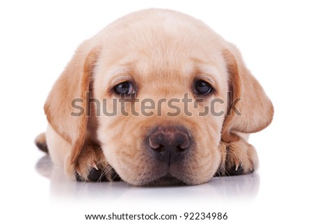 closeup picture of a sad little labrador retriever puppy, on white background - stock photo