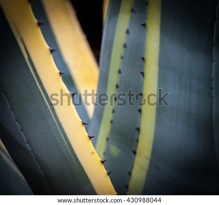 Closeup picture of agave cactus plant - stock photo