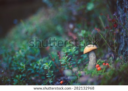 Closeup picture of Leccinum aurantiacum with orange cap growing in wild forest in Latvia. Edible mushroom growing in nature. Botanical photography. - stock photo