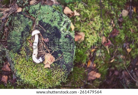Closeup picture of Leccinum, scabrum with brown cap growing in wild forest in Latvia. Edible mushroom growing in nature. Botanical photography.  - stock photo