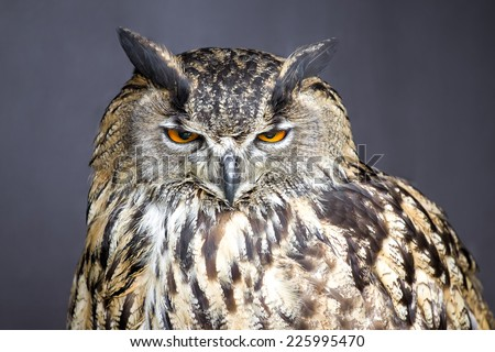 Closeup picture of stare-looking eagle owl - detail - stock photo