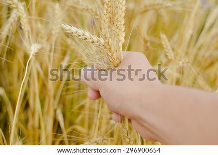 Closeup picture on hand holding wheat in the field on summer day outdoors background copy space - stock photo