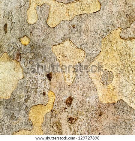 Closeup piece of tree bark Platunus (Sycamore), textures - stock photo