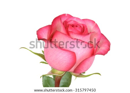 closeup pink and red rose - stock photo