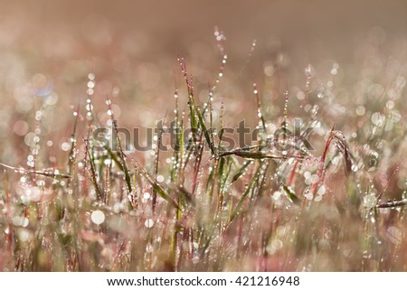 Closeup pink grass with droplets of dew in the morning sun for  create a charming picture.soft focus, shallow DOF. - stock photo