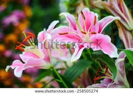 Closeup pink lilly - stock photo