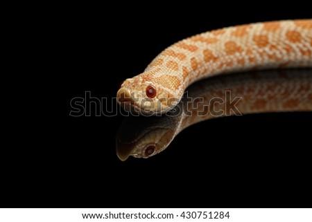 Closeup Pink pastel Albino Western Hognose Snake, Heterodon nasicus isolated on black background - stock photo