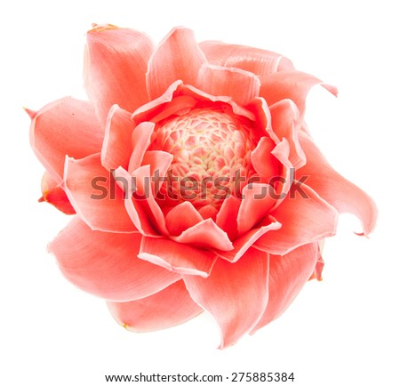 closeup pink torch ginger flower etlingera elatior on white background - stock photo