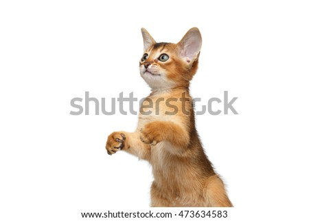 Closeup Playful Abyssinian Kitty Standing on Hind legs and Hunting Isolated White Background, Raising up paws