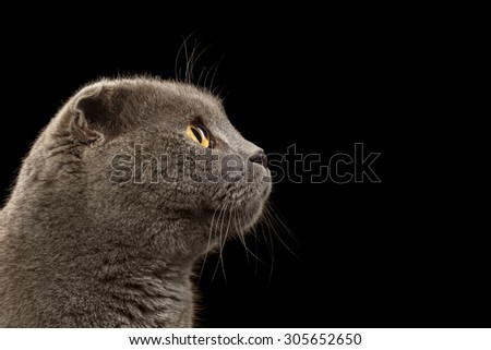 Closeup Portrait British Fold Cat in Profile on Black background - stock photo