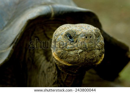 closeup portrait galapagos turtle in san cristobal galapagos ecuador - stock photo