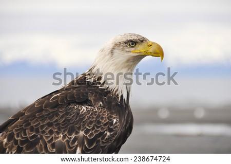 Closeup portrait of a bald eagle, Alaska - stock photo