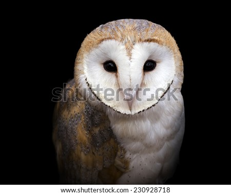 closeup portrait of a barn owl on a black background - stock photo