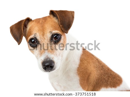 Closeup Portrait of a beautiful dog Jack Russell terrier with an attentive expressive look mesmerizing looking at the camera - stock photo