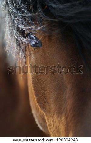 Closeup portrait of a blue-eyes heavy draft horse - stock photo