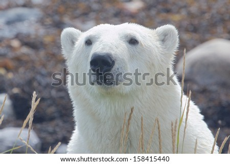 Closeup portrait of a Canadian polar bear in the arctic tundra of Churchill, Manitoba, in summer - stock photo