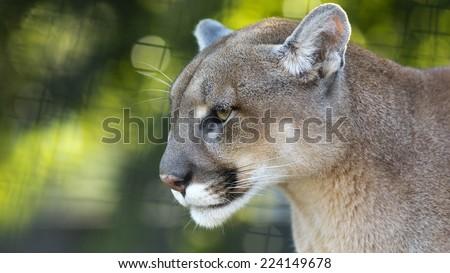 closeup portrait of a captive puma - stock photo