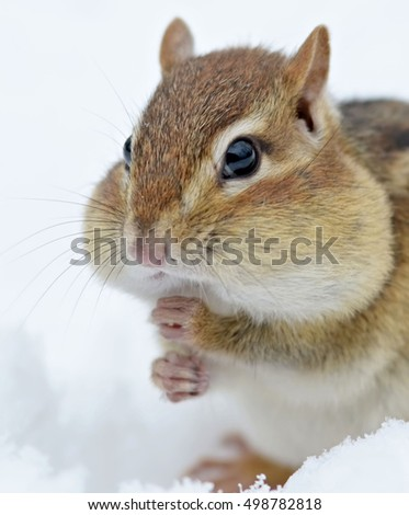 Closeup portrait of a chipmunk in the snow