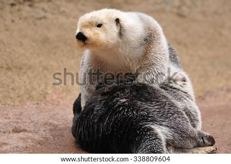 Closeup portrait of a cute Arctic sea Otter basking in sunlight - stock photo
