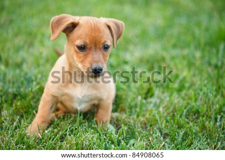 Closeup portrait of a Dachshund puppy in grass