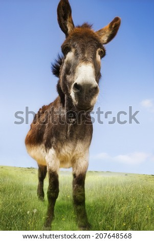 Closeup portrait of a donkey standing in field against blue sky - stock photo