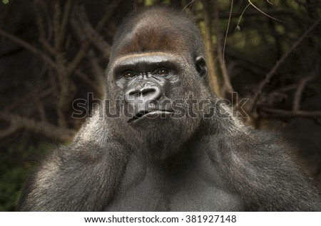 Closeup portrait of a gorilla male