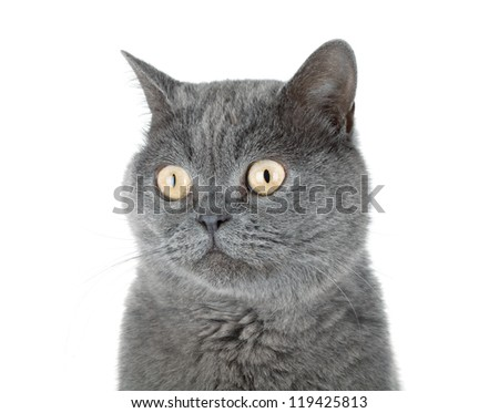 Closeup portrait of a grey cat. Isolated on white background