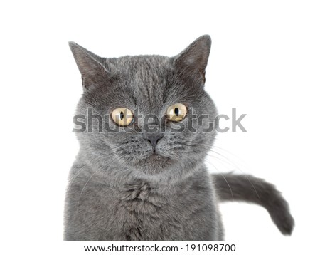 Closeup portrait of a grey cat. Isolated on white background - stock photo