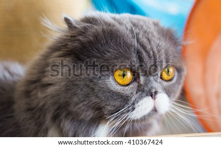 closeup portrait of a grey cat with   - stock photo