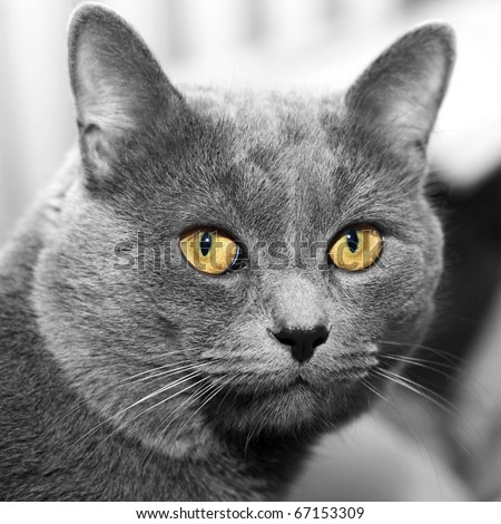 closeup portrait of a grey cat with the big yellow eyes - stock photo