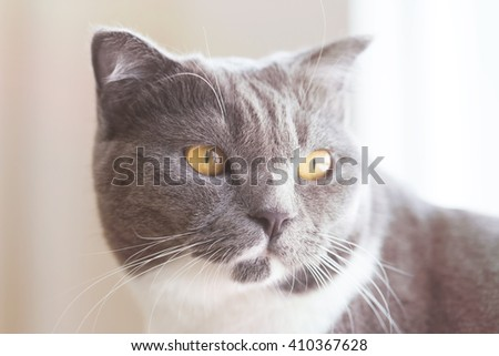 closeup portrait of a grey cat with ,with Vintage Tones - stock photo