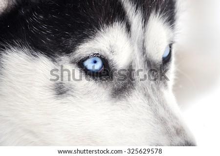 Closeup portrait of a husky dog - stock photo