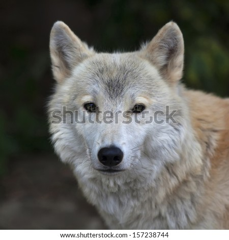 Closeup portrait of a polar wolf male. Eye to eye contact with the very dangerous beast of the severe North. Beauty of the wildlife. Square image. - stock photo