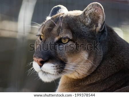 closeup portrait of a puma - stock photo