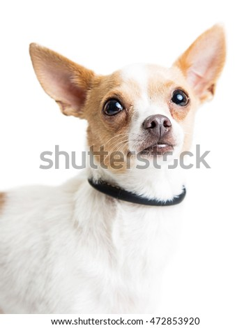 Closeup portrait of a small Chihuahua breed dog looking up over white.