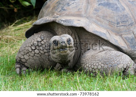 Closeup portrait of a very old giant tortoise