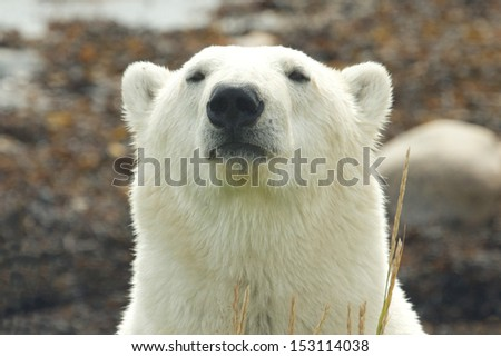 Closeup portrait of a wary Canadian Polar Bear in the Arctic tundra of the Hudson Bay near Churchill, Manitoba, in summer - stock photo