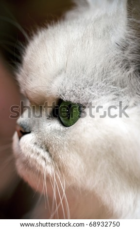 Closeup portrait of a white persian cat with green eyes